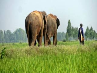 Save Elephants Foundation - Surin Project